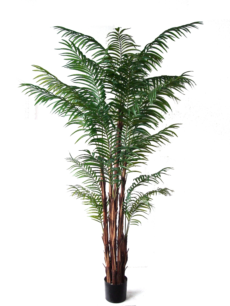 Areca Palm On Raphis Trunk 2.1m