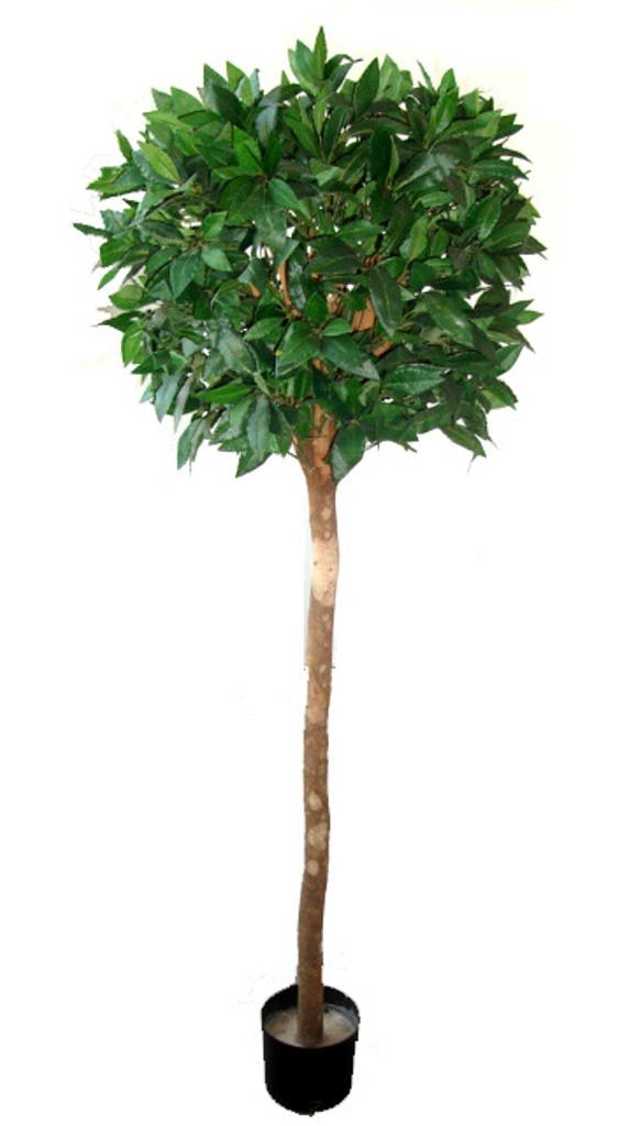 Bayleaf Ficus Single Ball Topiary 1.5m